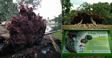 Bibit Buah Lychee Kom gambar pohon leci thepix info