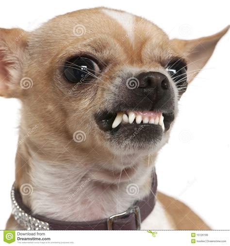 growl growl up of angry chihuahua growling 2 years stock