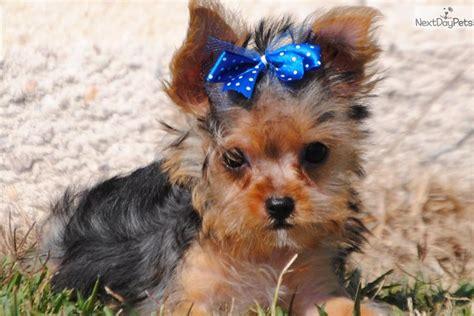 chorkie grooming chorkie puppy for sale near dallas fort worth texas