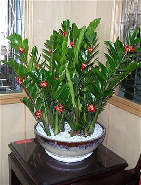 xing fu is the zz plant poisonous