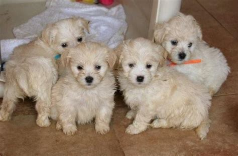 havanese puppies for sale in louisiana havanese breeders all about havanese breeders