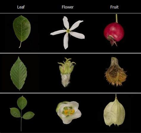 leafsnap is a new app to identify trees treehugger - How To Identify Fruit Trees By Leaf