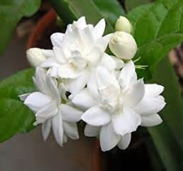 Patio Roses For Sale Amazon Com Arabian Tea Jasmine Plant Belle Of India