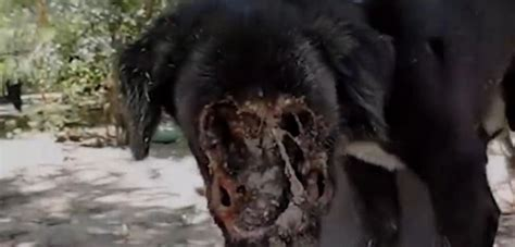 maggots in dogs maggots in www pixshark images galleries with a bite