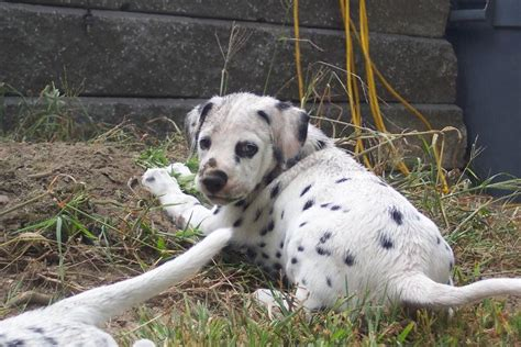 how much do dalmatian puppies cost dalmatian puppy the garden jpg hi res 720p hd