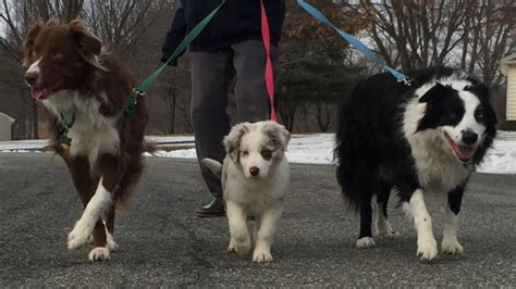 border collie puppies  sale   tail