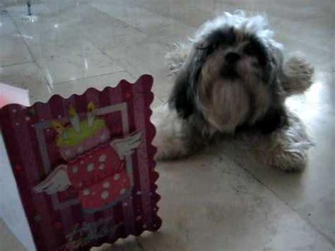 shih tzu singing happy birthday my pet sings happy birthday