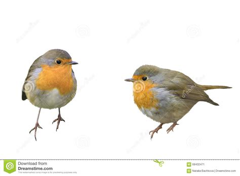 Two Birds two birds robins in different poses stock photo image