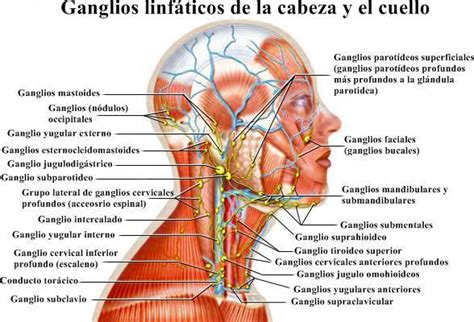 cuales son las cadenas ganglionares del cuello ganglio linf 225 tico anatom 237 a 191 qu 233 es ubicaciones y funciones