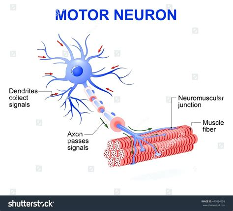 neuron diagram labeled diagram motor neuron diagram labeled