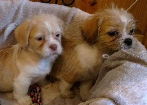 shi chi puppies shi chi puppies shihtzu x chihuahua york pets4homes