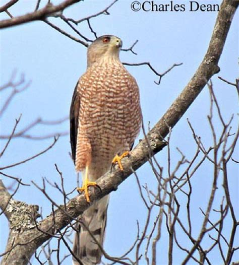 type of hawks in tn tennessee watchable wildlife cooper s hawk habitat forest