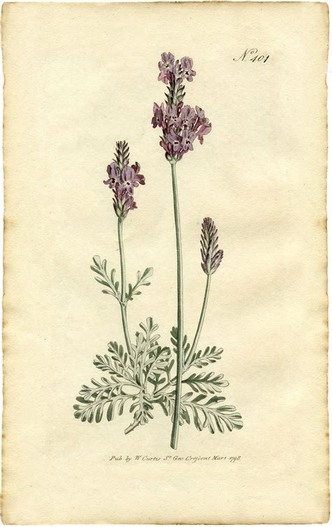 printable botanical art free lavender botanical print the graphics fairy