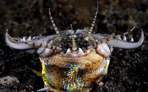 Cacing Sragen cacing bobbit pemangsa mengerikan dari dasar laut
