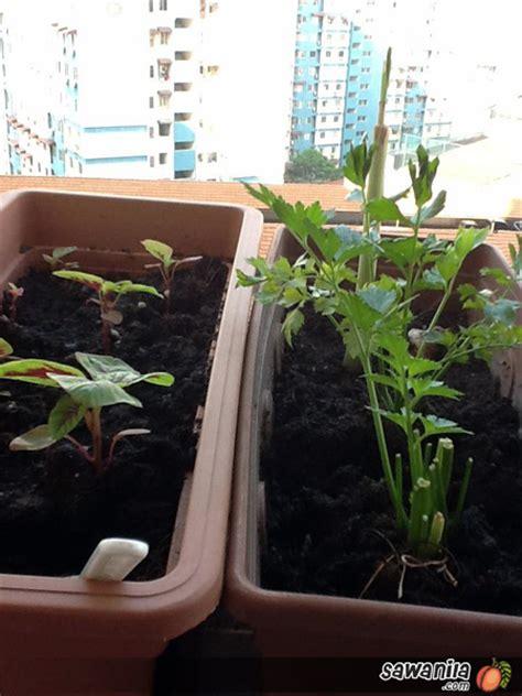 Benih Bayam Dan Kangkung mini kebun sayur tepi tingkap sawanila