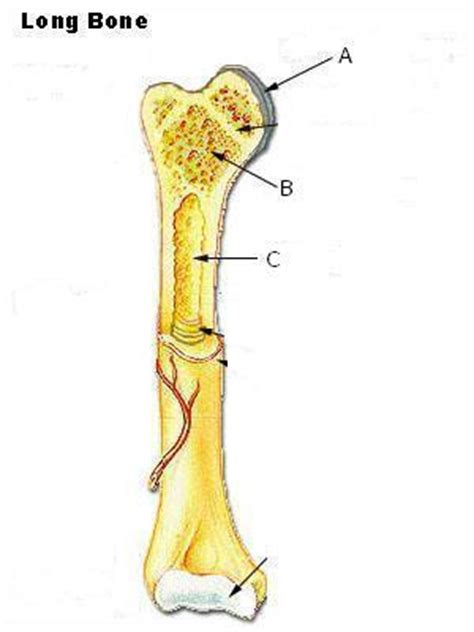 middle section of a long bone iii tissues at marshall university studyblue