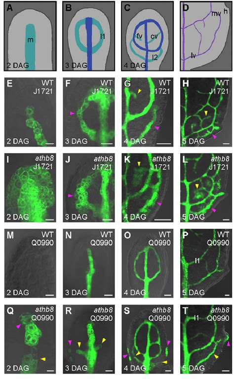 vein pattern formation leaf vascular development in arabidopsis athb8 a t