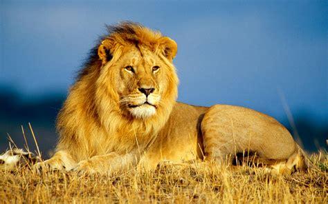 Bantal Macan Dan Singa singa info hewan