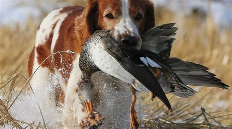 best bird dogs the 10 best bird dogs for all types of and hunts