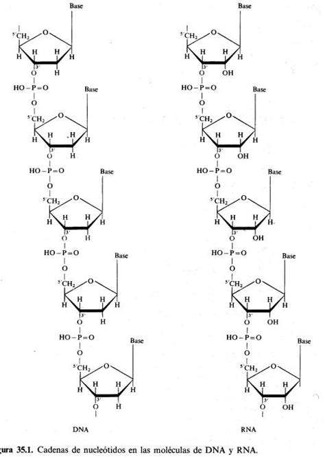 ester fosforico bases nitrogenadas