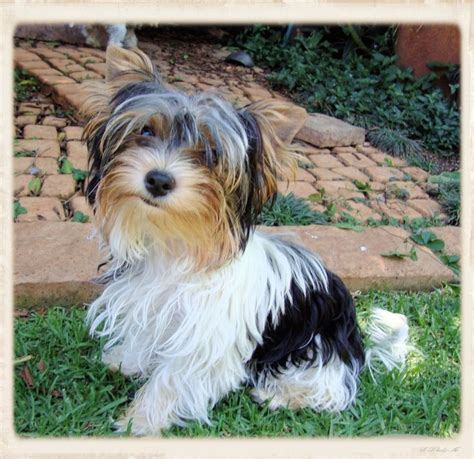 teacup yorkies for sale in pretoria the 25 best yorkie puppies for sale ideas on yorkie dogs for sale pom