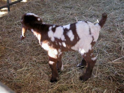gold coast bdsm cracker boer goat bucks at creek farm