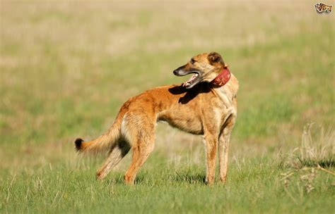 Is a longdog the right choice of pet for you?   Pets4Homes