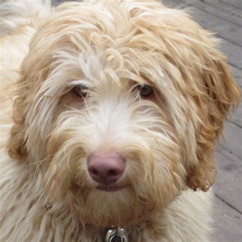 doodle doodle breed labradoodle puppy pictures search results homedepotx