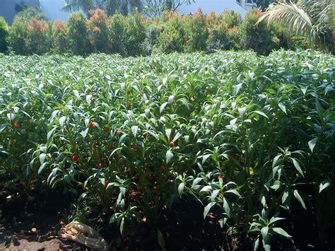 deny flora menjual jenis jenis tanaman hias