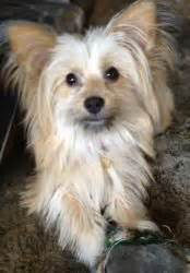 maltese yorkie grown quot truffle quot my yorkie maltese mix with tiny dogs trufle i twarze