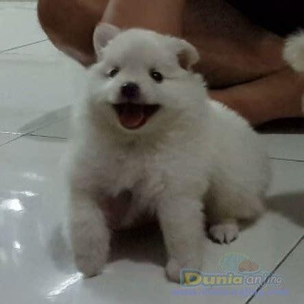 Anjing Minipom Stambum dunia anjing jual anjing pomeranian jual 9ekr minipom