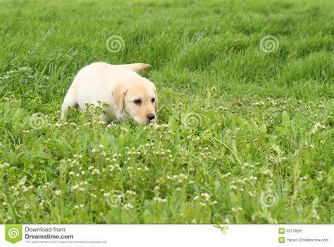 green labrador puppy a yellow labrador puppy in green grass stock photo image 55778201