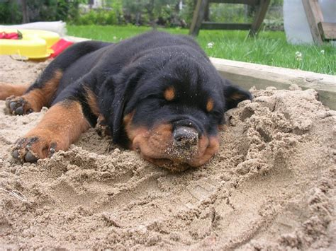 rottweiler tips rottweiler rottweiler tips rottweiler dogs breeds picture