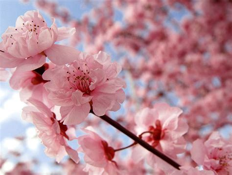 cherry blossom images globe encyclopedia cherry blossom