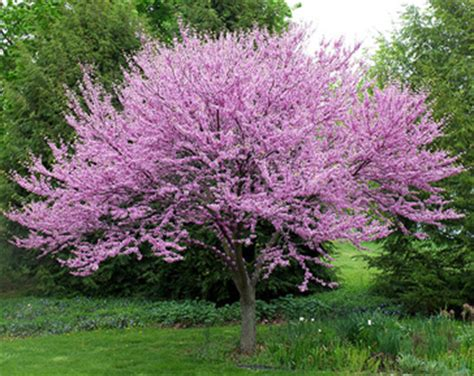 flowering trees and shrubs ornamental trees for fort collins at just trees fort
