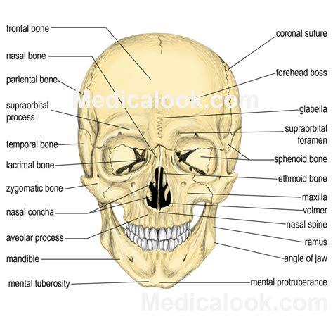 bone treats bones human anatomy organs