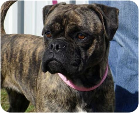 pug and boxer brindle boxer pug mix breeds picture