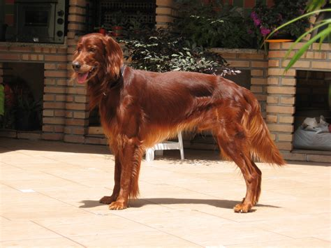 what does a setter dog look like paw print genetics leukocyte adhesion deficiency a