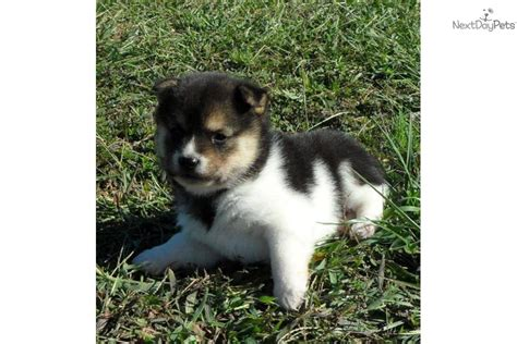 meet a shiba inu puppy for sale for 1 125 seth