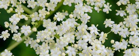 fiori di sambuco proprietà fiori di sambuco le propriet 224 e gli usi creativi in