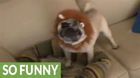 pug documentary pug documentary will make your day
