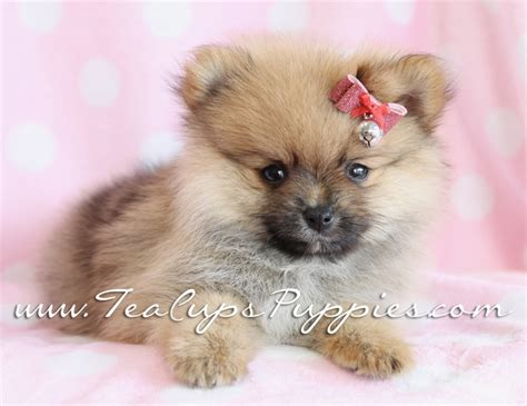 pomeranian boutique 1000 images about puppies by teacups puppies and boutique on puppys
