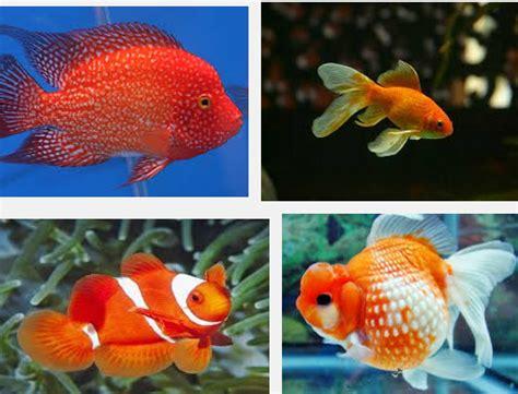Pakan Ikan Louhan Agar Cepat Besar inilah cara budidaya dan tekhnik perawatan ikan louhan