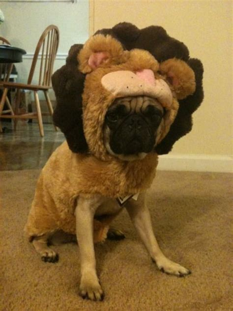 pugs and lions 137 best images about pugs on chugs pug and pug costumes