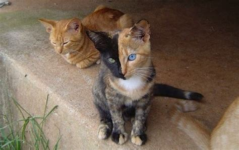 multi colored cat everyone s in with this two faced cat the twist gossip