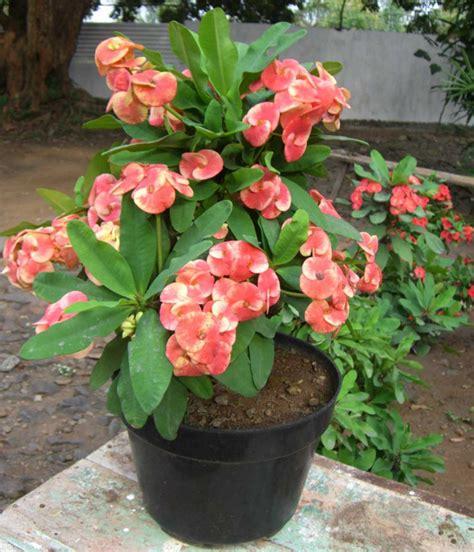 Pupuk Untuk Bunga Lada cara menanam dan merawat tanaman hias dalam pot tanaman
