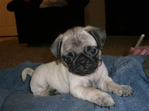pugs for adoption classified ads best 20 pug puppies for adoption ideas on pugs for adoption pugs and