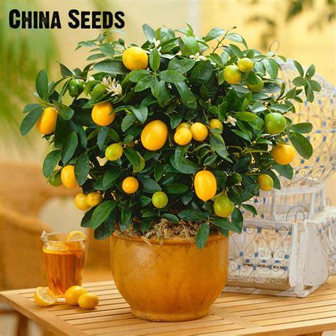 Benih Biji Jeruk Kalamondin Citrus Microcarpa buy grosir pot buah pohon from china pot buah pohon penjual aliexpress alibaba
