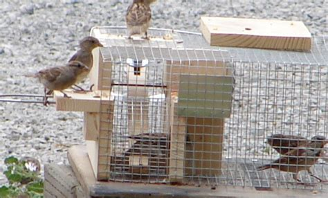 house sparrow trap plans deluxe repeating sparrow trap drst falconry bluebird bird