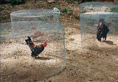 Kawat Ram Ayam kandang ayam serama indonesia halaman 2